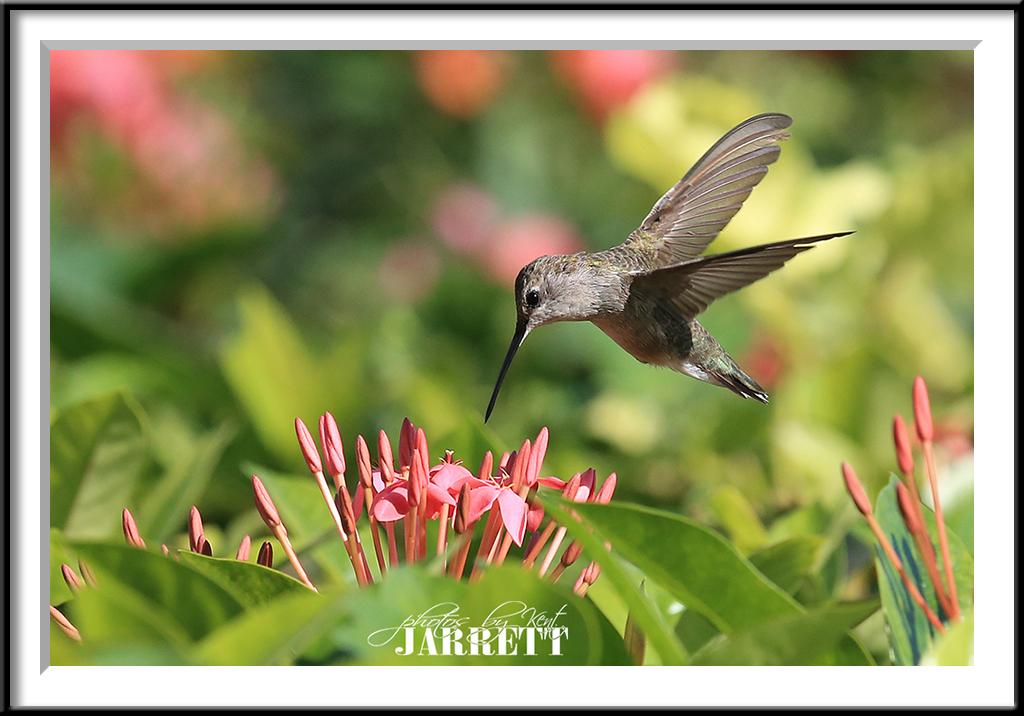 Ixtapa Hummingbird
