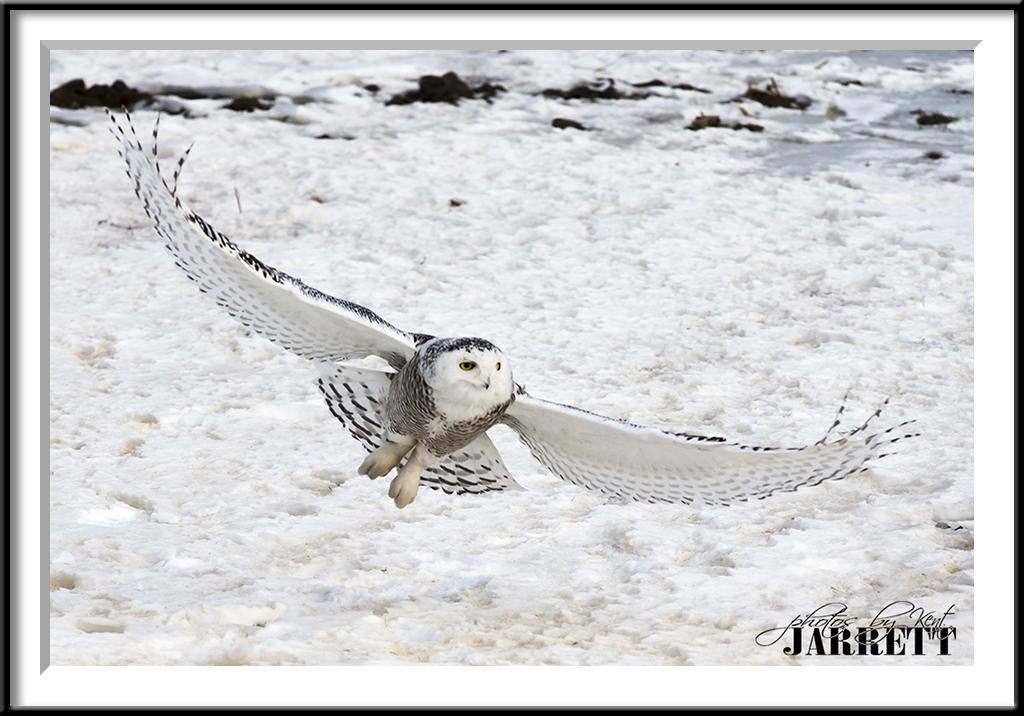 Snowy owl rochester rent