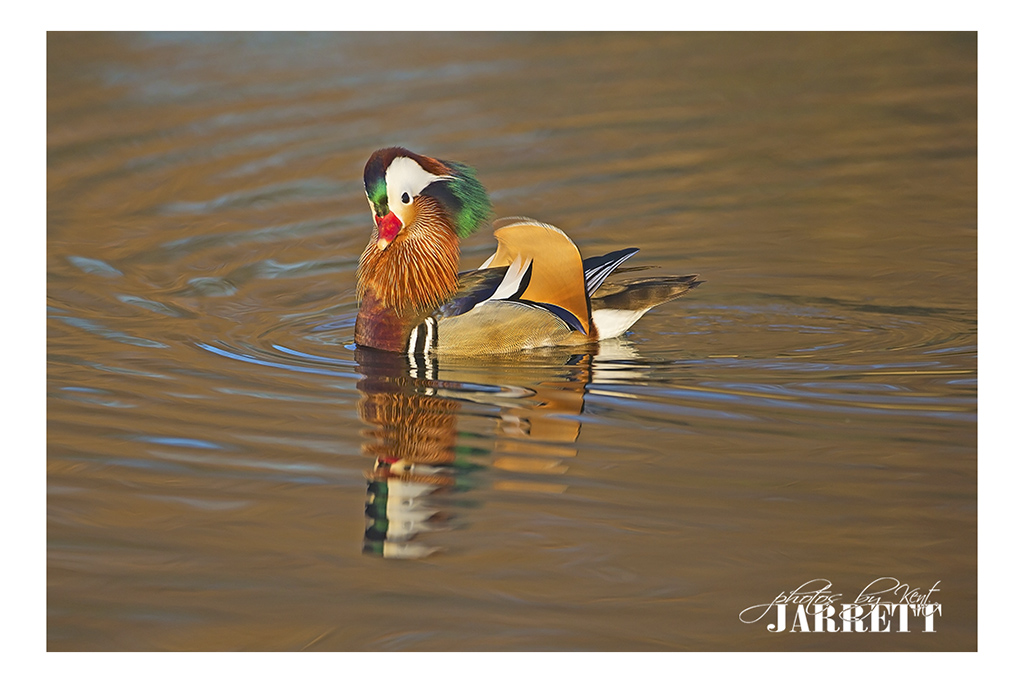 Mandarin Duck | Kent Jarrett Photography
